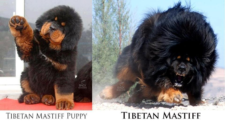 alexicography: Tibetan Mastiffs are apparently Pokemons.