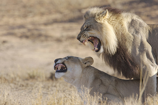 jaws-and-claws :      Mating lions, Kalahari  by  thewildlifephotographer  on Flickr.