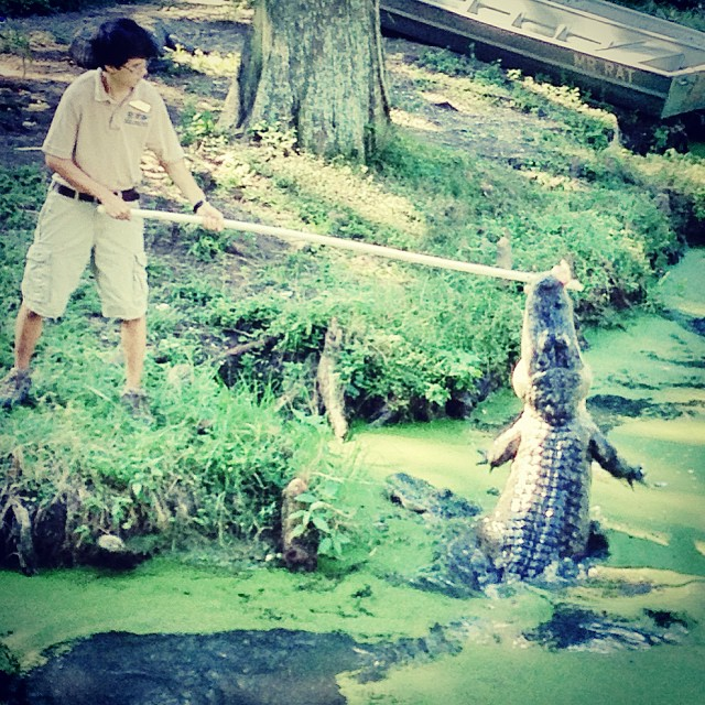 This kid lost the tug-of-war then the gator mockingly brought back the feeding pole, flanked by two others. (at Audubon Zoo Alligator Swamp Feedings)