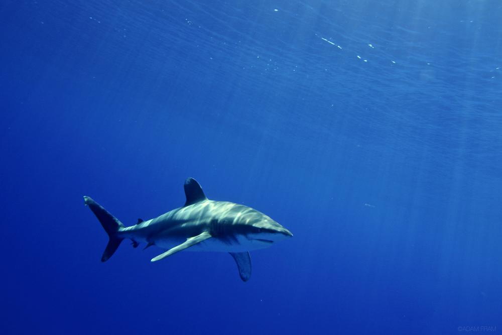 OceanicWhiteTipShark.jpg