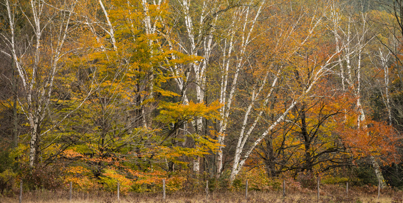 Richmond Birch 1 PhaseOne IQ 180 300mm 1/50 sec f5 ISO 35 2 stitched images