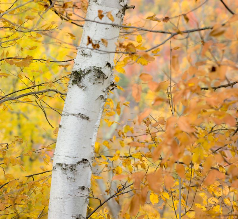 Birch Fall PhaseOne IQ 180 300mm 1/4 sec f11 ISO 35