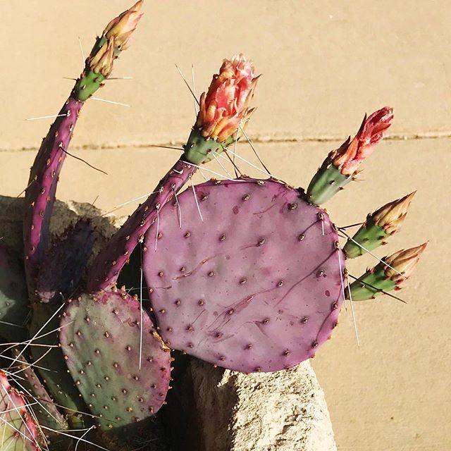 Cactus blossoms 🌵🌸