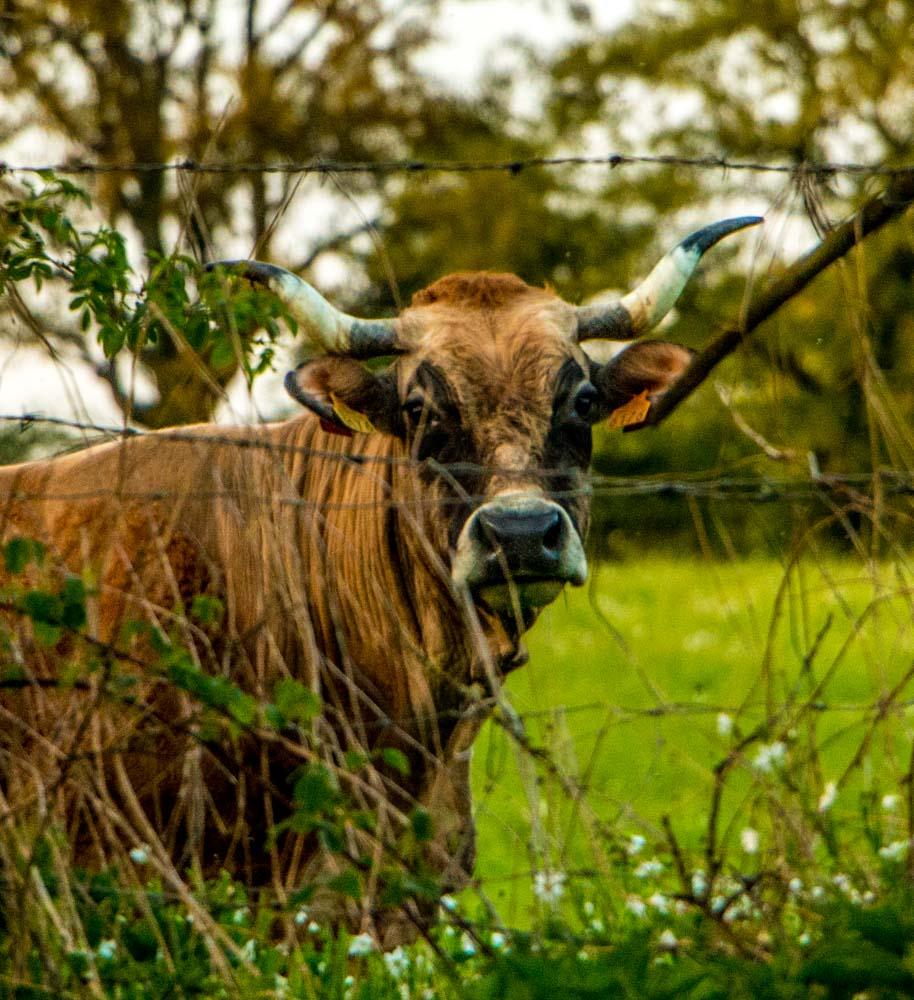 Une vache sur la ferme des Béguets, à Saint-Menoux (03)