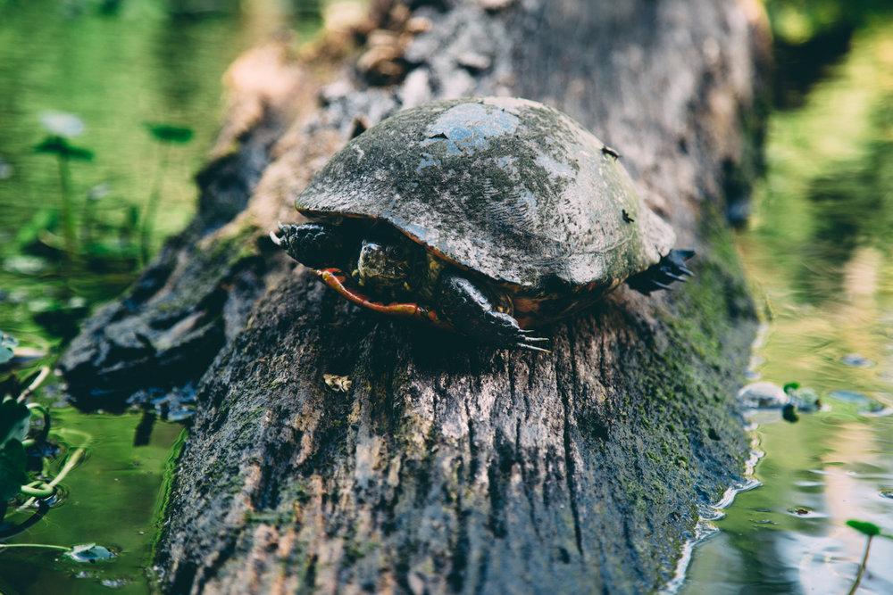 Kayaking-Orlando-Wekiwa-Turtle-Photographer