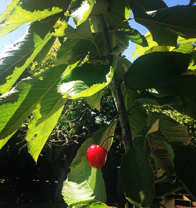 Cherries are go #homegrown #cherrybomb  #notthistimebirds #beatthebeaks