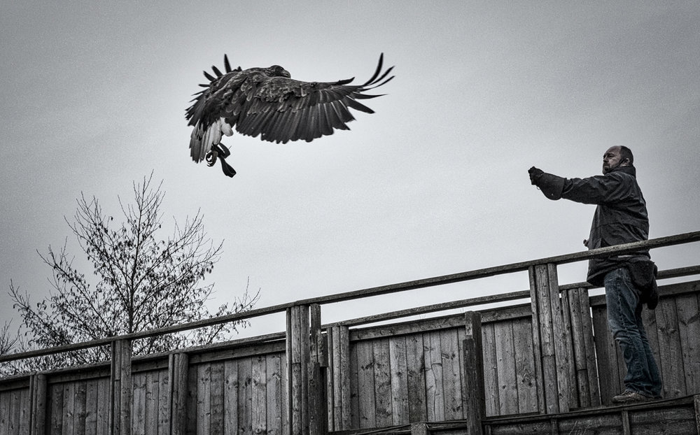 Who says you need a big lens to do bird photography?  Scottish Sea Eagle at Gauntlet Birds of Prey raptor sanctuary, Knutsford, UK Fujifilm X100T, Continous High-Speed Autofocus