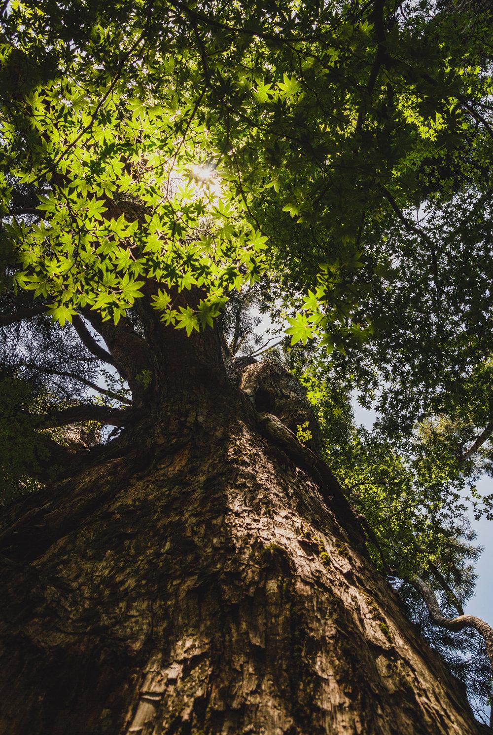 Giant Cedar, Kirishima Kinkowan National Park | 2018
