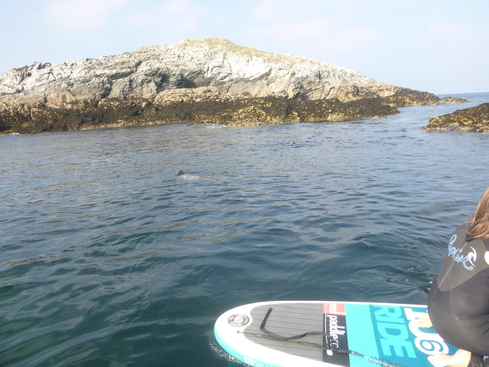 SUP Safari Crantock Cornwall Seal spotting