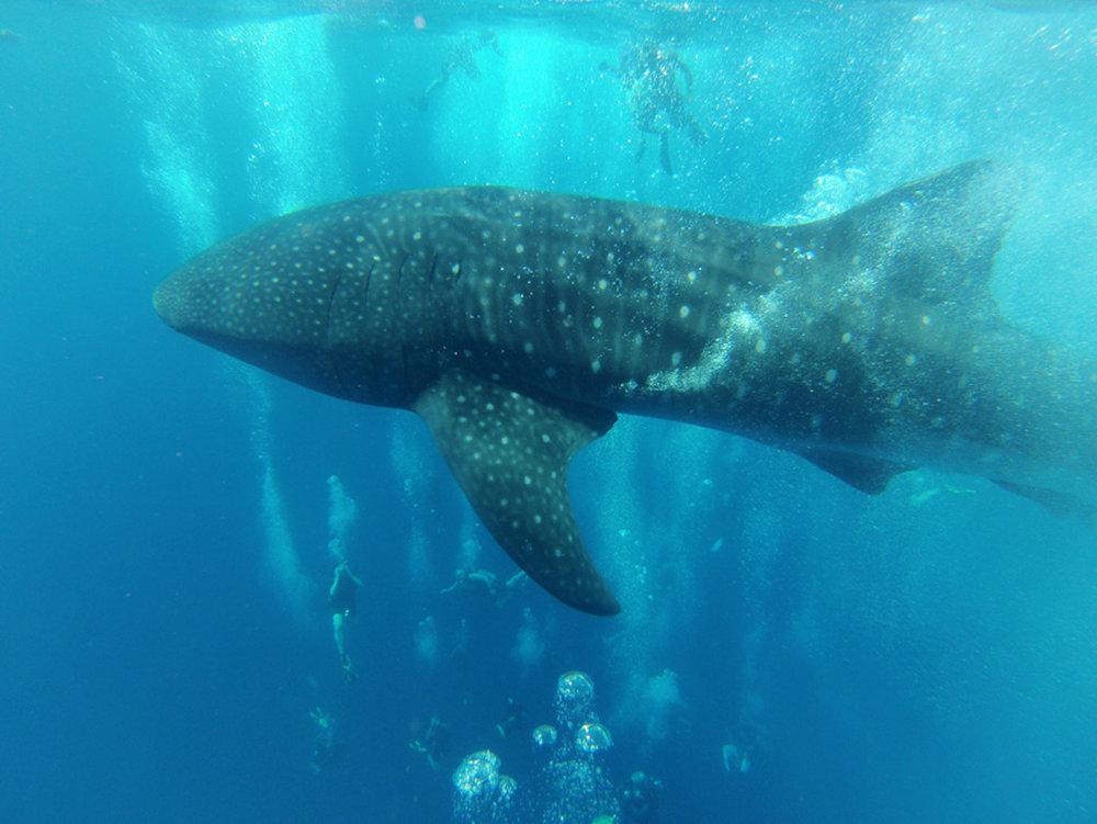 Ian Whale Shark 3 sml[4].jpg