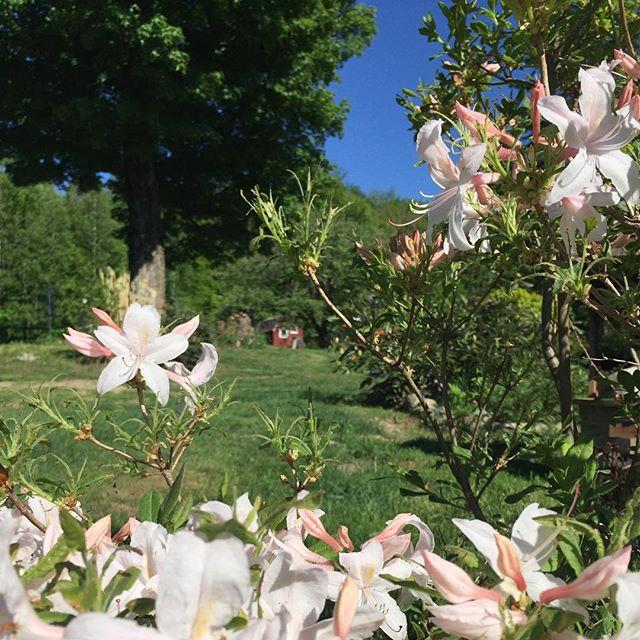 Azeleas in full bloom. Loving spring. #vermontlife #vermontliving #springinvermont #azalea #almostsummer #nek