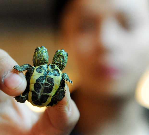 two headed baby turtles! allcreatures: A two-headed red-eared slider turtle is seen at Xiaoyaojin Park in Hefei, Anhui province, China. The three-day-old turtle is in a good condidtion, despite its two heads Picture: China Foto Press / Barcroft Media (via Pictures of the day: 10 November 2010 - Telegraph)