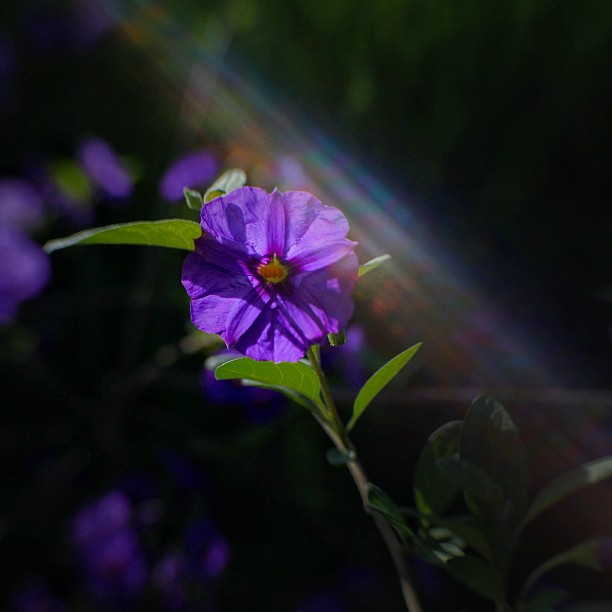 #lens baby #flower #purple #light #beauty #beautiful #malcolmkingswell