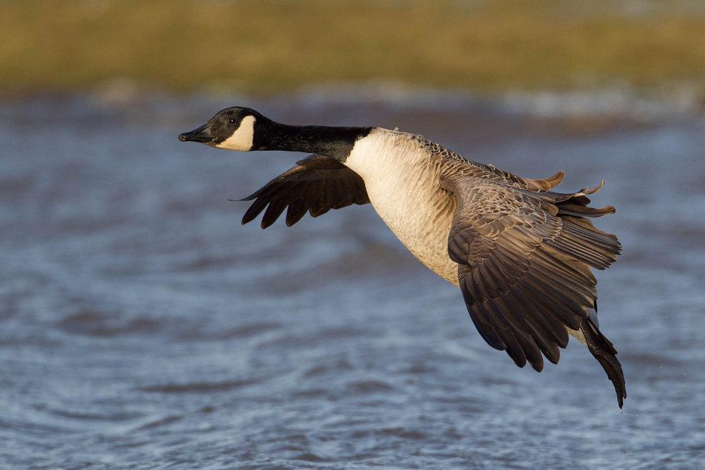Canada Goose landing.jpg