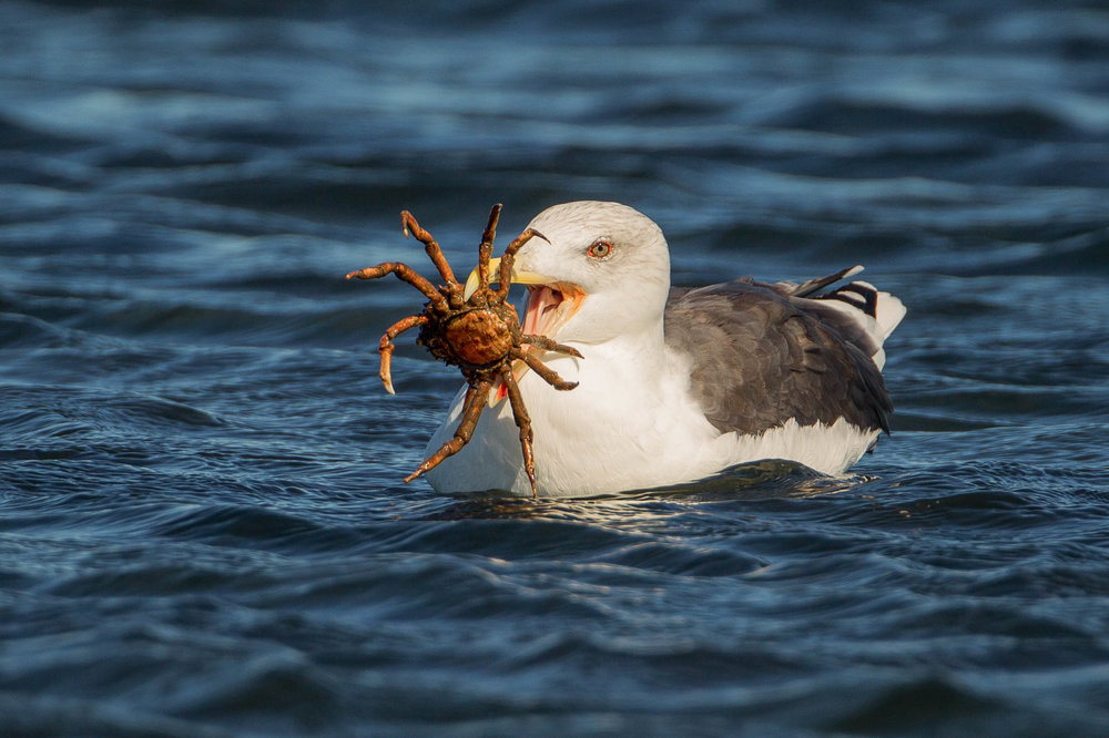 Black-backed Gull and Crab.jpg