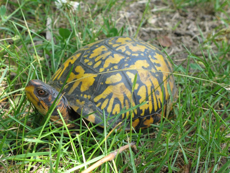 Northern-Box-Turtle-2-800x600.jpg