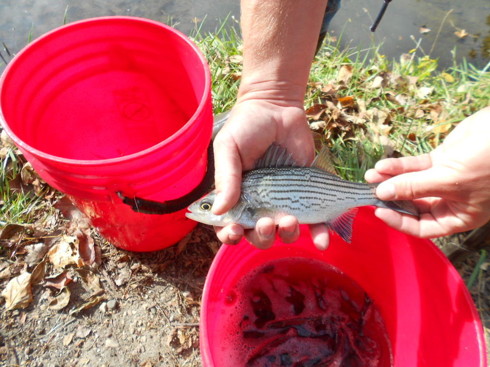 IWL Fish Stocking Photos (10-15-15) JCS 041.jpg