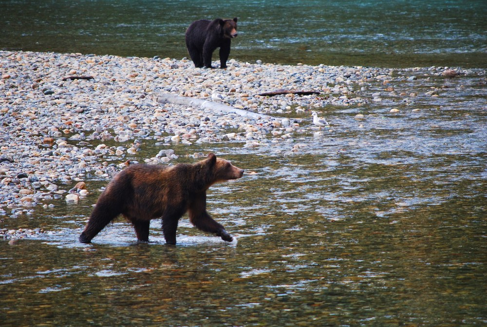 Bears near Sonora DSC_0171.JPG