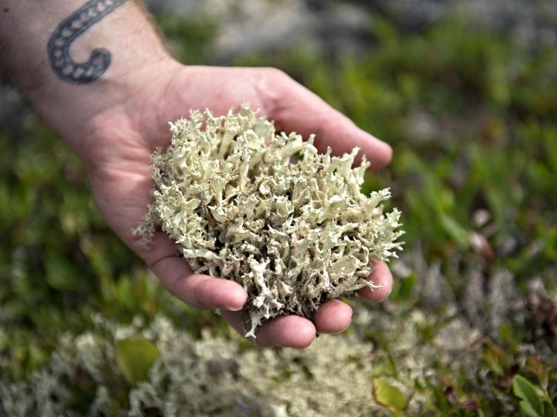 Cariboo Moss