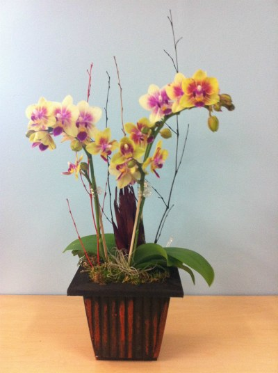 valentines_orchid_gina