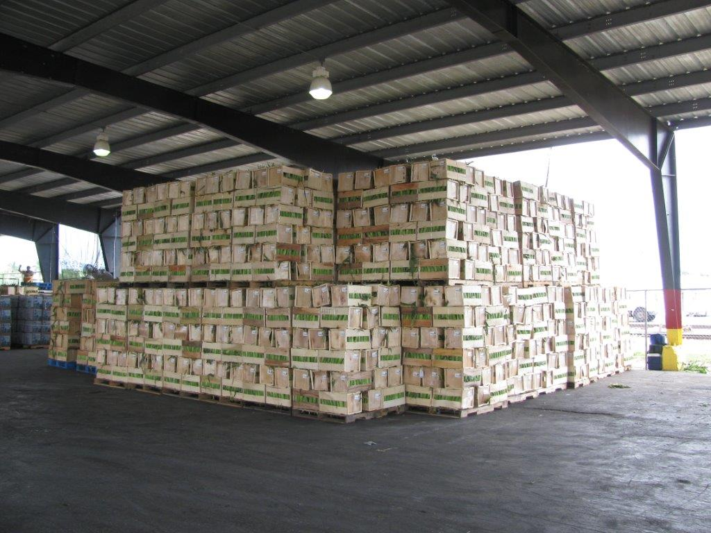 Stacked wooden boxes of corn ready to be cooled.