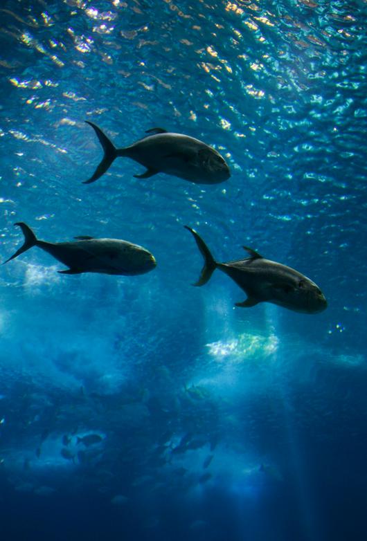 Regal masters of the sea -tuna