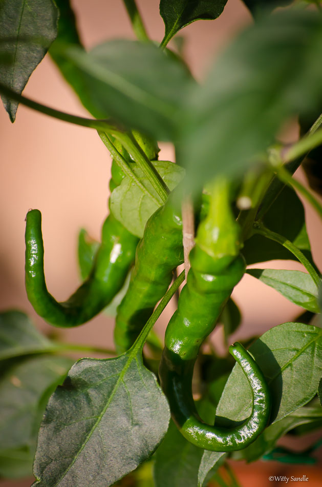 Green Chili Peppers-8369
