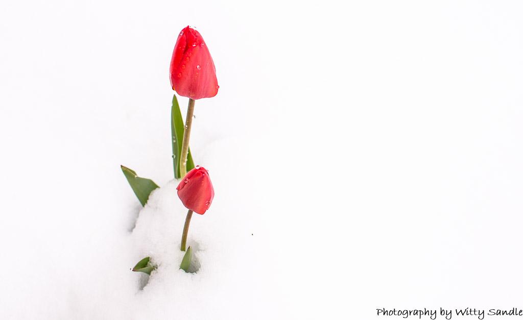 Springtime Tulip-