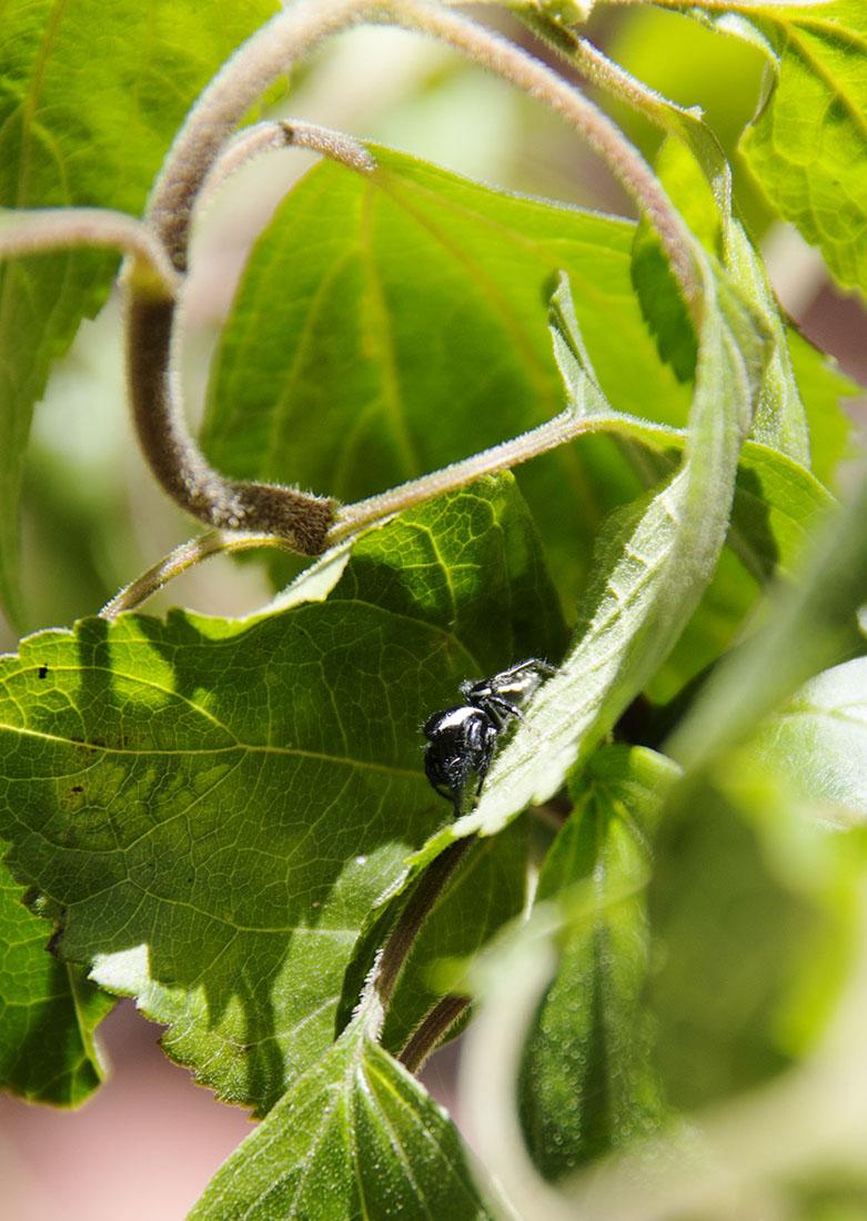 Saticidae: Paraphidippus aurantius 2.jpg