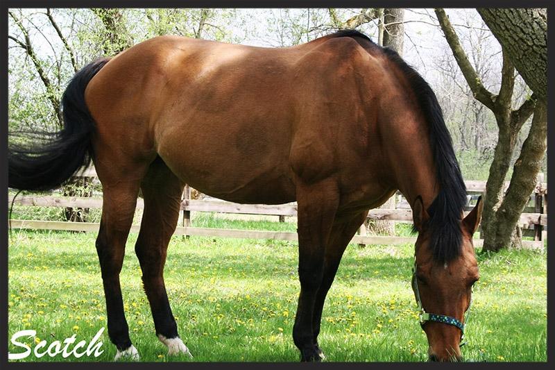 scotch_horse