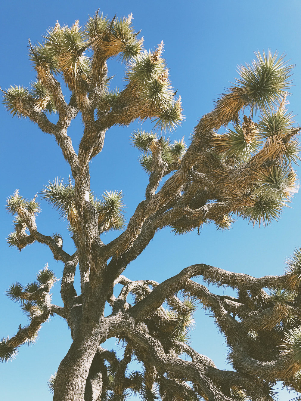joshua tree1.jpg