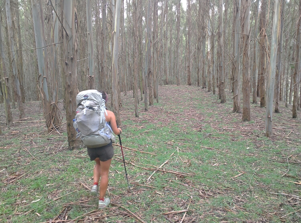 Strolling through the eucalyptus forest
