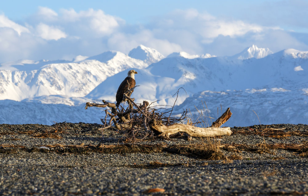 Eagle_alaska_homer_winter_2016_1200.jpg