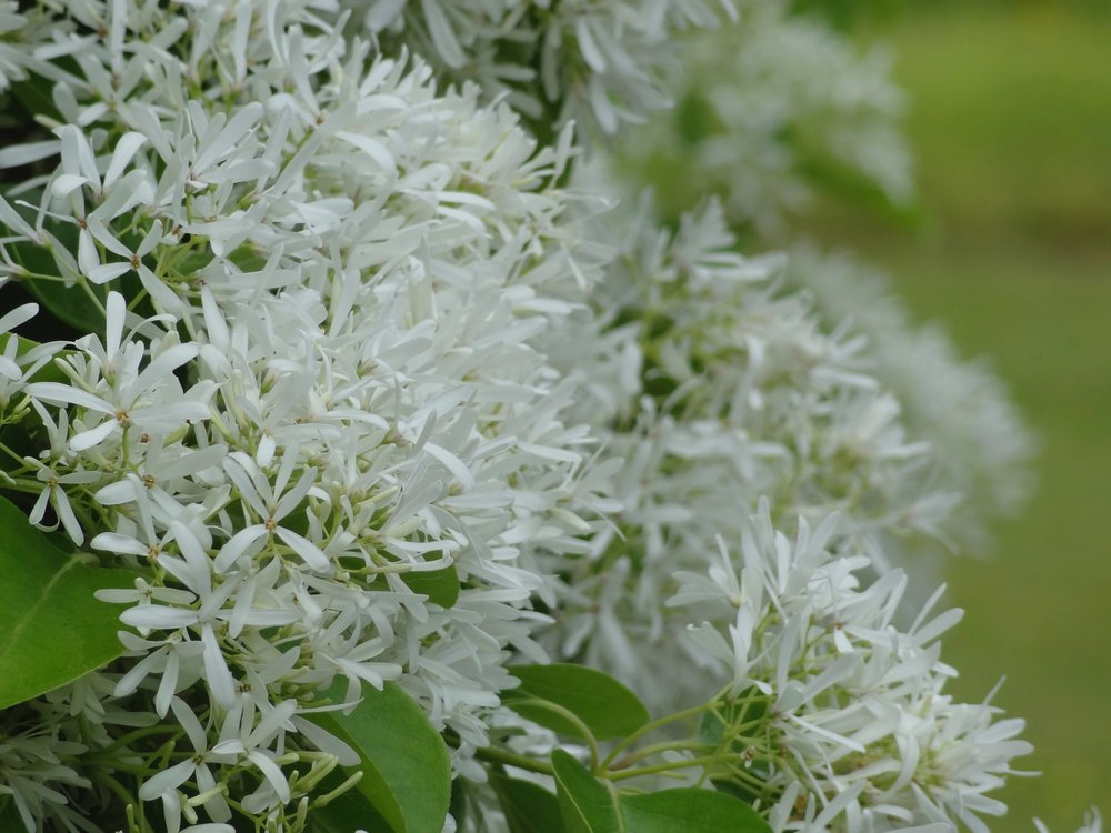 White Fringe Flower.jpg
