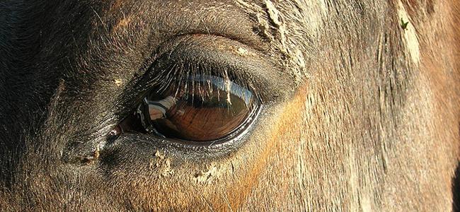 horseeye