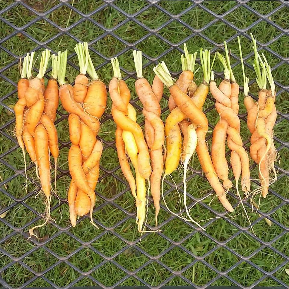 Carrots & A haiku from Andrea at Windflower farm