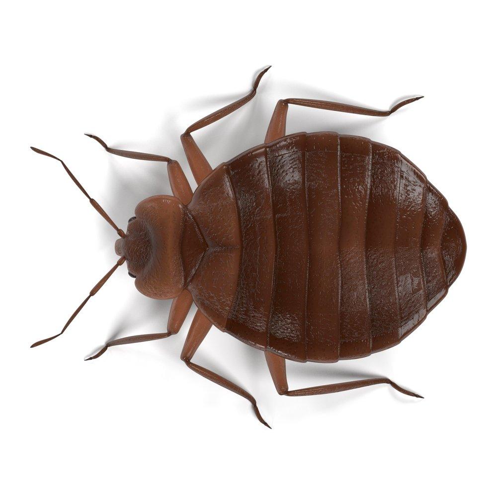 Bed Bug_Barrys Pest Control.jpeg