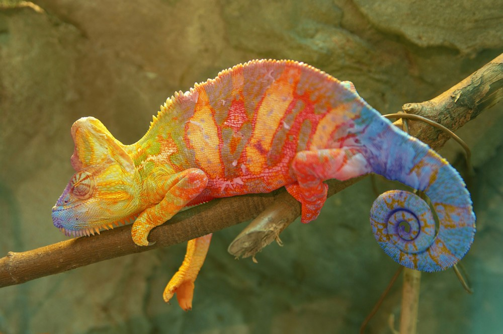 Photo: http://www.modvive.com/2015/03/11/chameleons-change-color-now-know-skin/