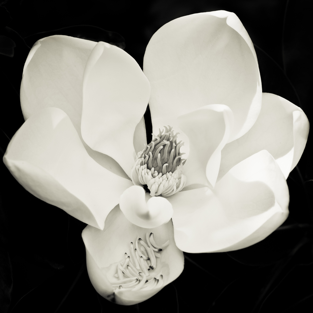 """Magnolia Silk"" Canon 1Ds mk2 100mm macro"