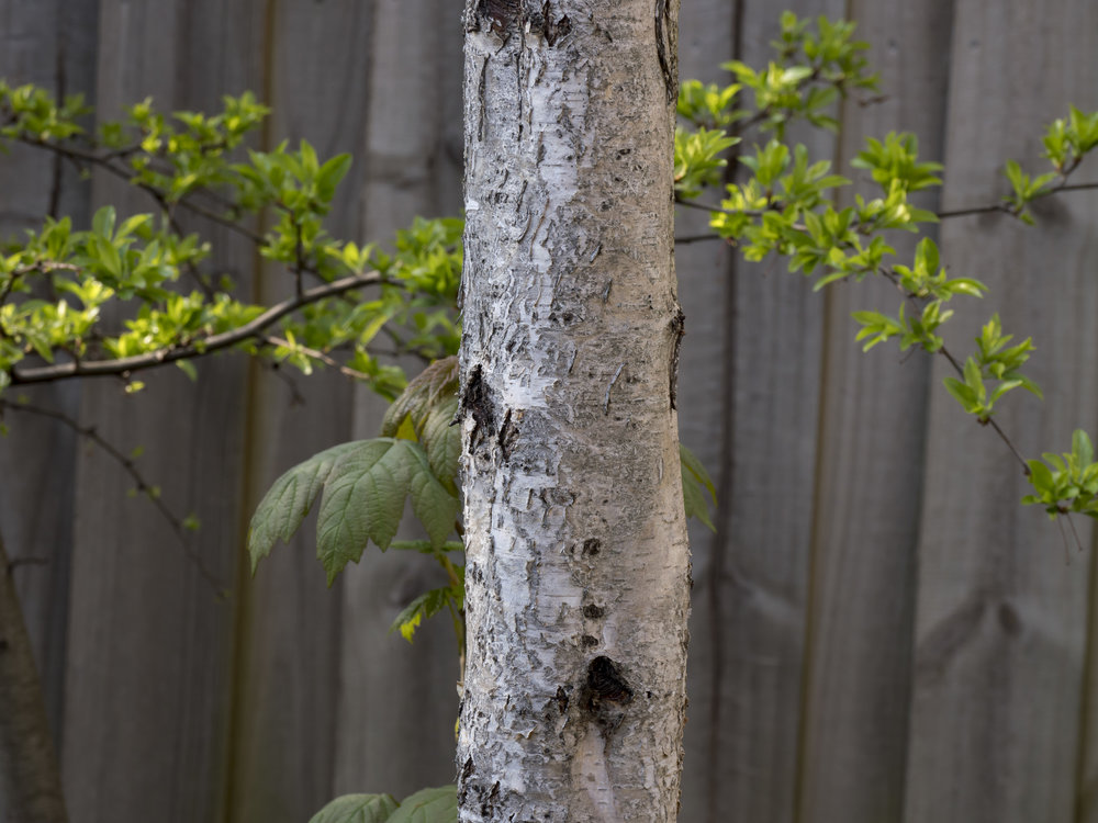 "Final one. This is a subject close to my heart as I have often found Birches a ""soft"" looking tree in previous images."