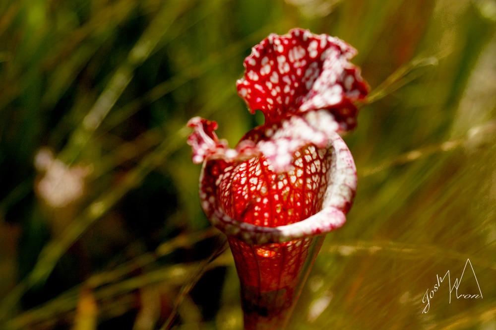 SRedflower2.jpg
