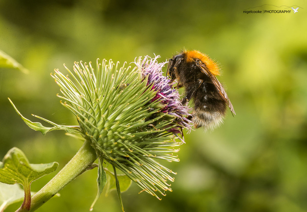 Hiding from Giants (Tree Bumblebee)