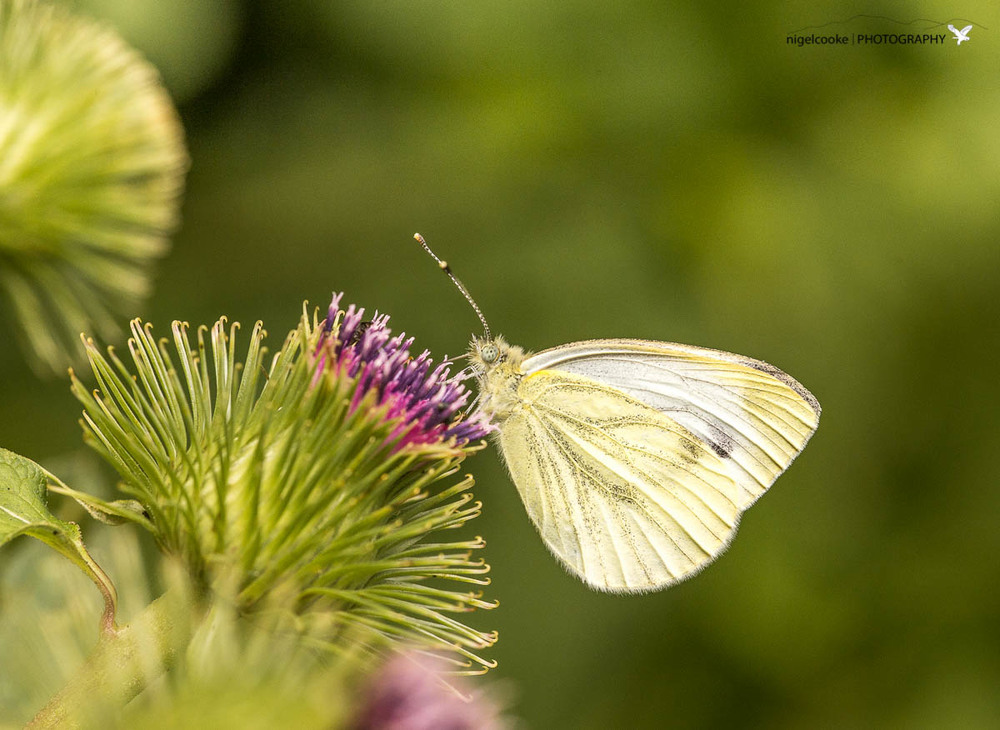 Sweet Nectar (Large White - I think ?)