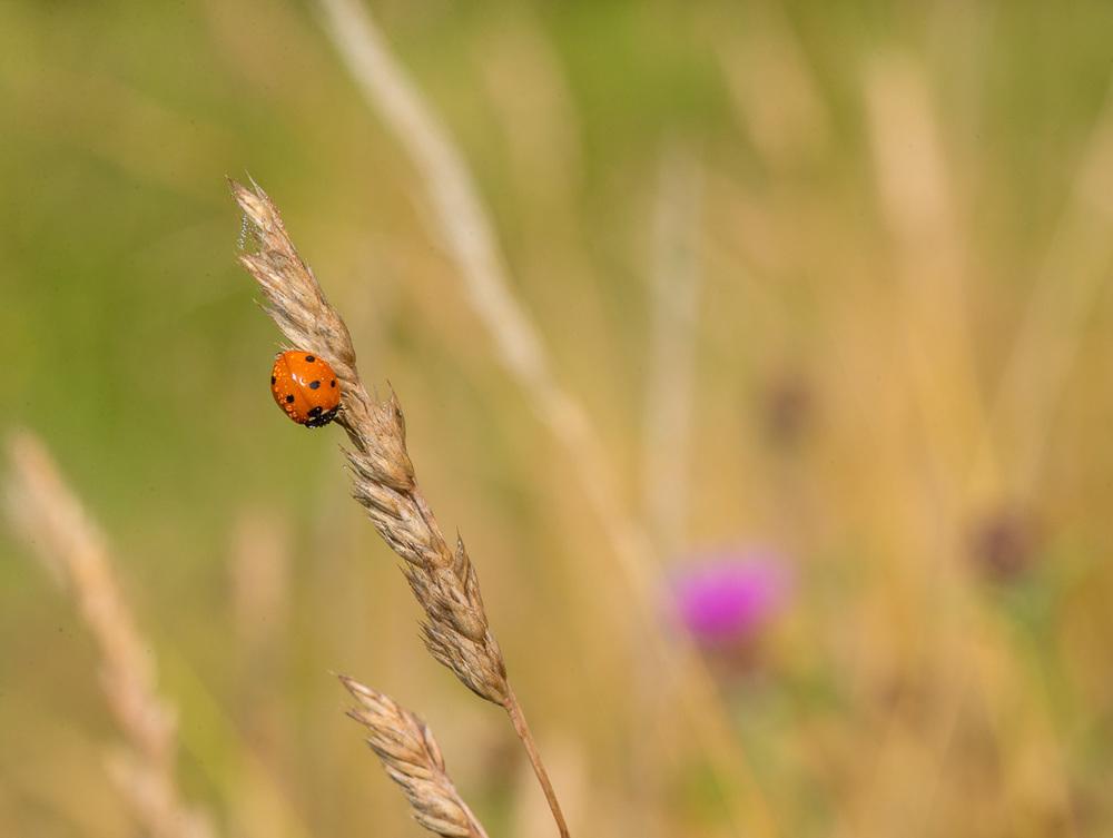 3 Spot Ladybird