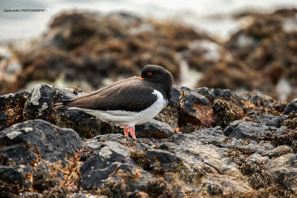 Oystercatcher on the Island of Mull - a very common sight