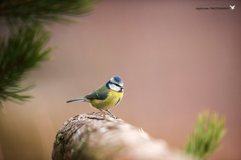 The Humble Blue Tit .. but wow, such a beautiful bird when you take time to look