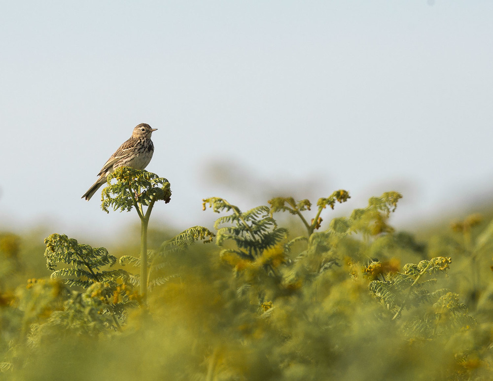 Guess the Pipit
