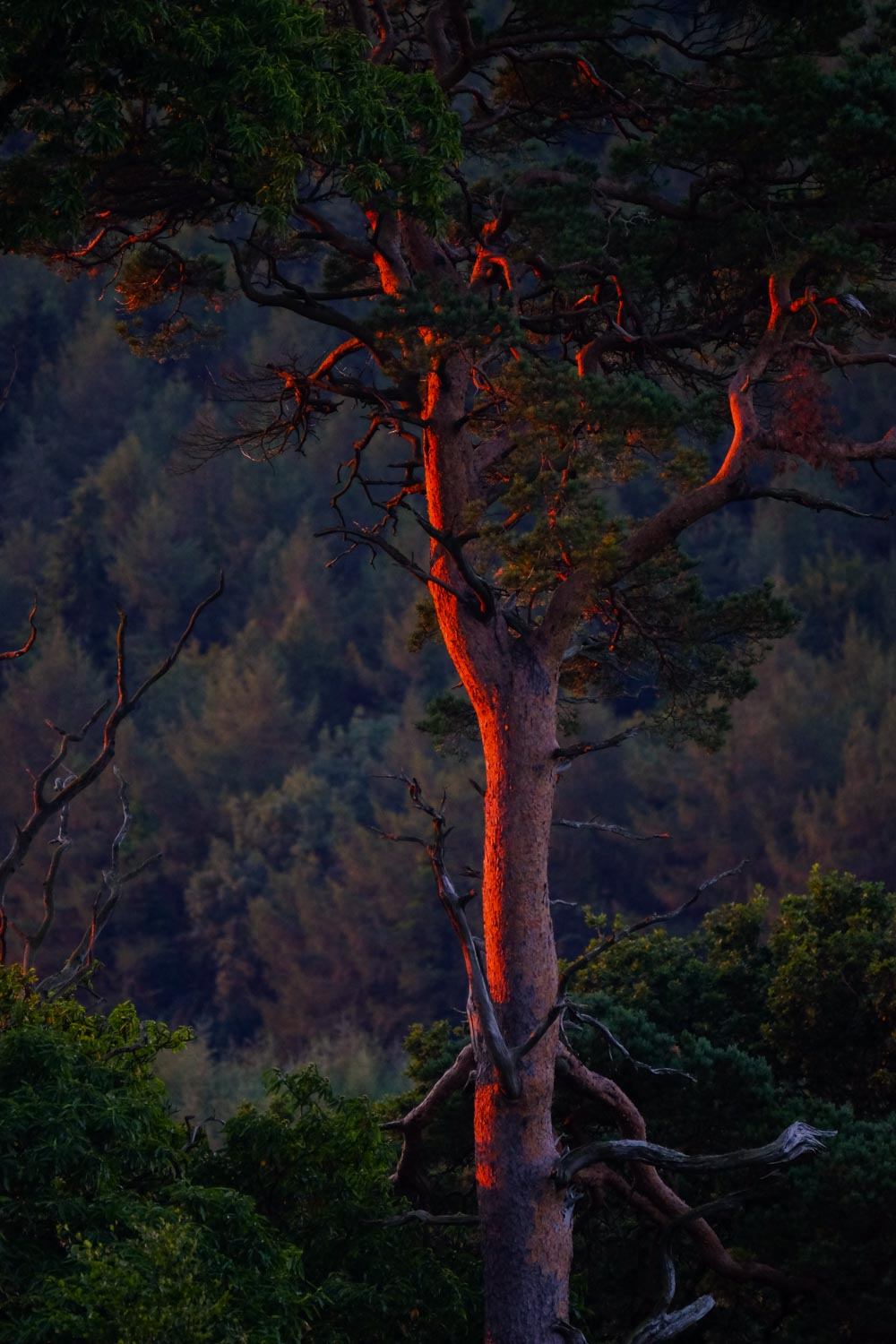 The Morning Burn. Magical dawn light touches a tree in Tollymore Forest Park
