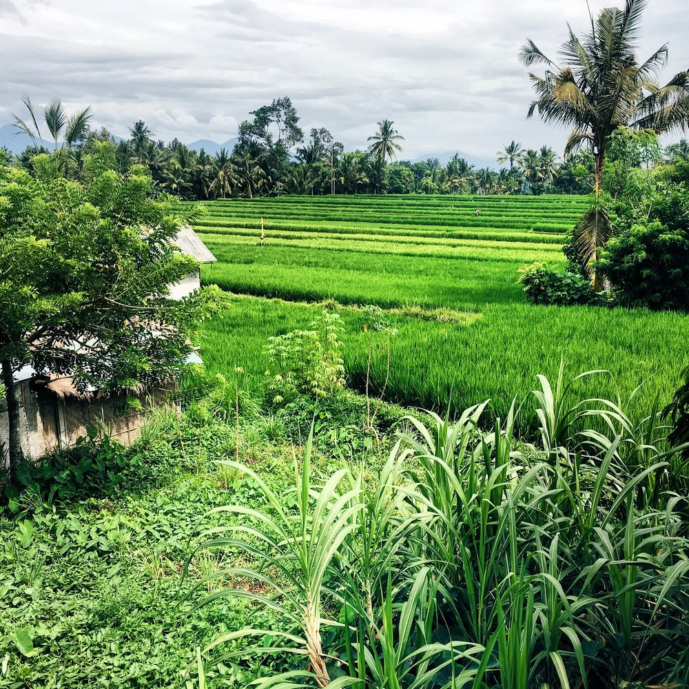 Lush rice fields in Ubud, Bali
