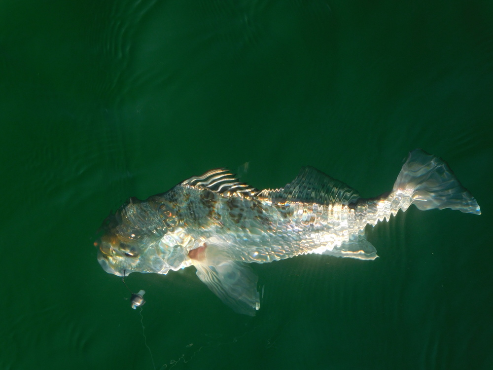 Hill Inlet grunter.jpg